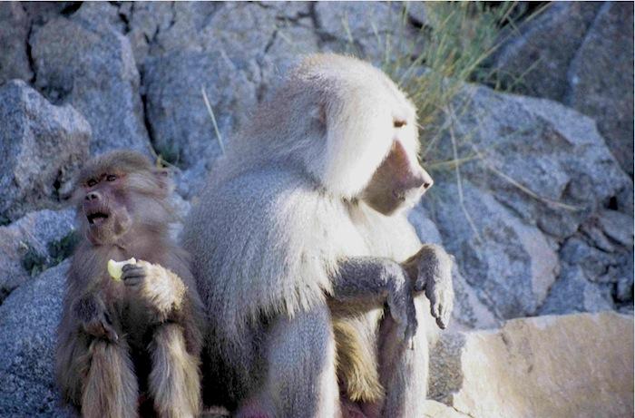 Affenkind mit Apfel