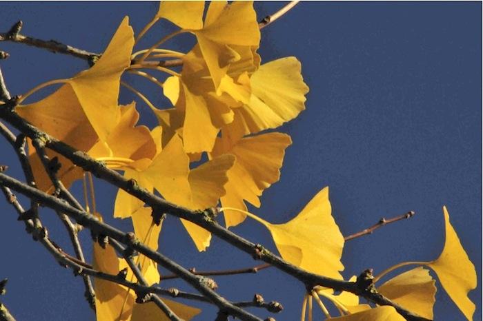 Ginkgobaum. Foto: Monika Schau