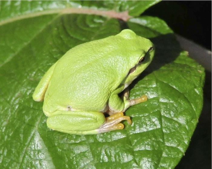 Frosch. Foto: Monika Schau