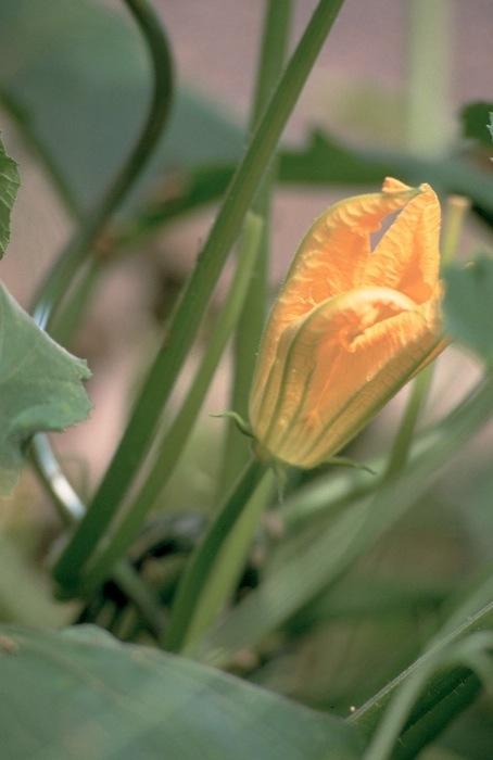 Männliche Zucchinoblüte. Foto: Monika Schau