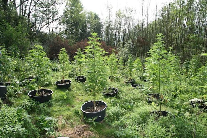 Cannabisplantage in Litzendorf. Foto: Polizei