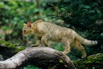 Wildkatze. Foto: BUND/T. Stephan